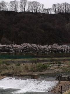 嬬恋村の『サクラサク
