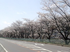 桜前線 到来!