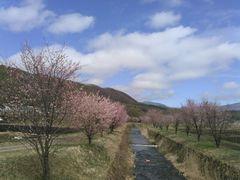 干俣地区も桜が咲いた!