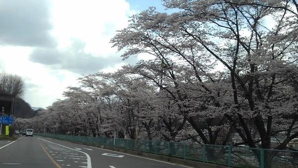 嬬恋村は桜が見頃・・・